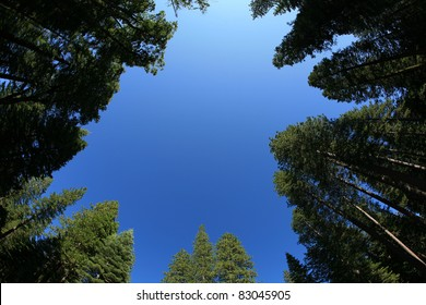 looking up into the blue sky through a forest of redwood trees