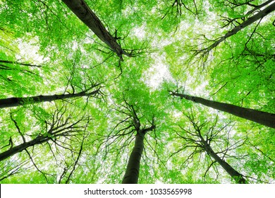 Looking up into the Canopy of a Beech Tree Forest