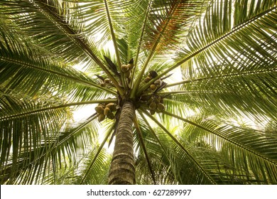 Looking up into a coconut palm tree with coconuts on a warm spring day in south Florida.