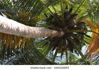 Looking up into a coconut tree