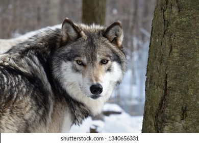 Looking into the eyes of a Timber wolf