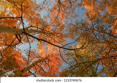 Looking up into the leafy crown of colorful oranges, yellows, and greens of fall Quaking Aspen trees against blue sky