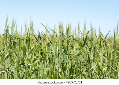 looking up into a maturing cereal crop with a blue sky