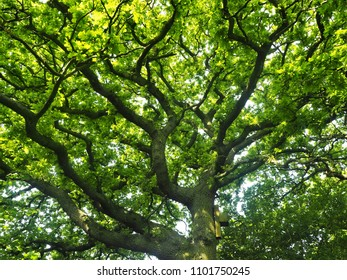 Looking up into an oak tree with fresh green spring leaves and a bat box