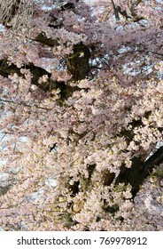 Looking up into ornamental cherry tree branches covered with blossoms in spring. Full lush pink flowers in bunches