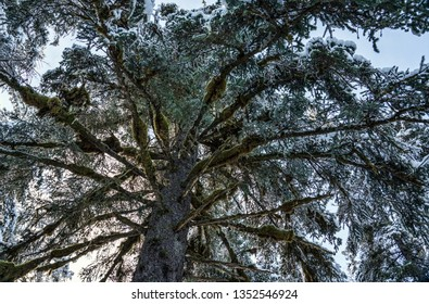 Looking up at a large old growth spruce tree with a dusting of snow on a sunny day.