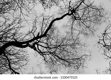 Looking up at large tree bough in winter with branches and twigs