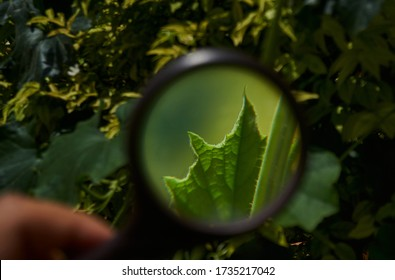 Looking at little green leaf through a magnifying glass