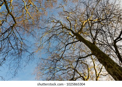 Looking up a London Plane trees in winter with a blue sky