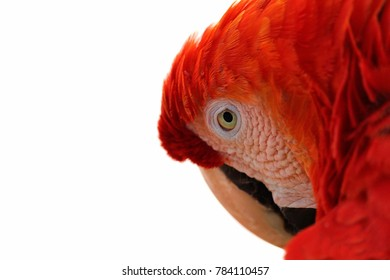 Looking macaw with distrustful look