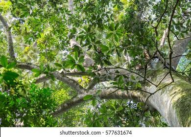 Looking up at Mahogany Tree in Mabira Rain forest Uganda