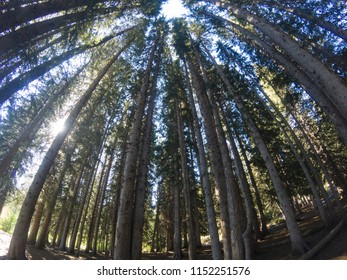 Looking up many trees in forest at Silver Lake, Brighton, Big Cottonwood Canyon, Utah, USA.