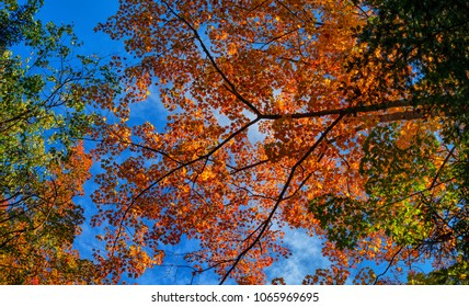 looking up at a maple tree in Acadia National Park during peak fall foliage season