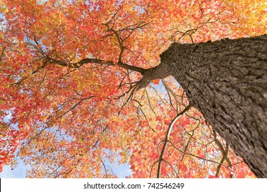 Looking up at a mature red maple tree in autumn.