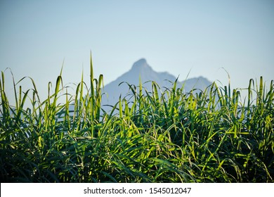 Looking at Mount Warning in Murwillumbah on the Tweed framed by a cane field in the foreground