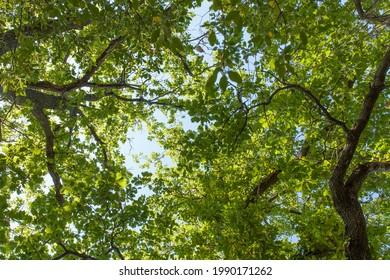 En levant les chênes. Arrière-plan ciel bleu.