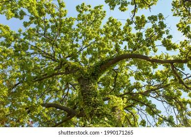 En levant des chênes, avec du lierre sur le tronc. Arrière-plan ciel bleu.
