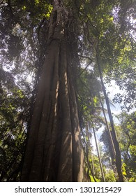 Looking up at an old tree in Gondwana rainforest
