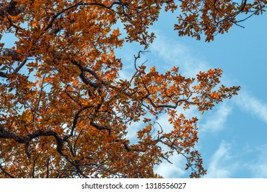 Looking up onto twisted oak tree branches with warm orange leaves at autumn on the bright blue sky background