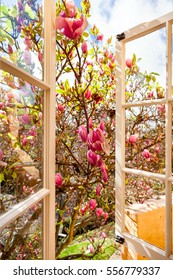 Looking out of an open window onto a blooming magnolia tree with pink flowers. After a spring rain, water droplets with sunshine