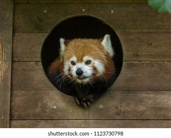 The looking out red panda in his little wooden hous in the ZOO