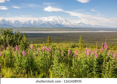 Looking out from the road at grassy pass over the fireweed and Thorofare river towards a stunning view of Mount McKinley on an almost perfectly clear morning in Denali National Park. Alaska.