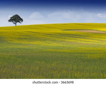 Looking over a rural english landscape of yellow rapeseed