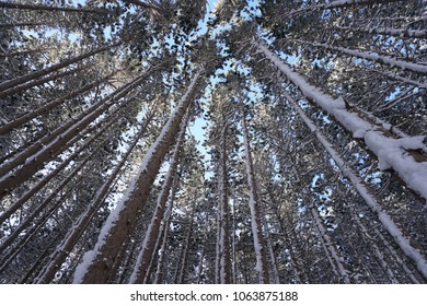 Looking up at pine trees covered in snow with blue sky in background.