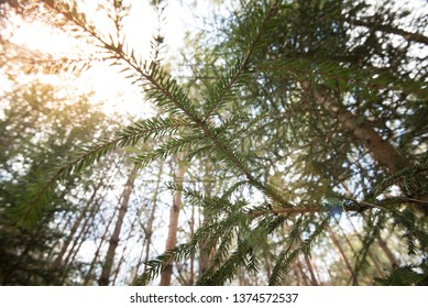 Looking up pine trees crowns branches in woods or forest. Bottom view wide angle background photo. Tops of trees from ground view.