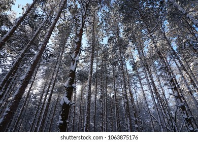 Looking up at pine trees and forest floor covered in snow with sun shinning through trees.