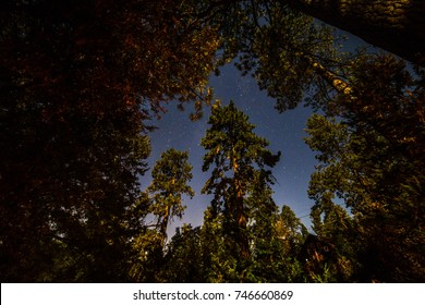 Looking up at Pine trees and the night sky in Idyllwild, California.