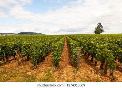 Looking the Pinot noir vineyard in Côte d'Or Bourgogne