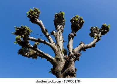 Looking up at pollarded tree against a clear blue sky