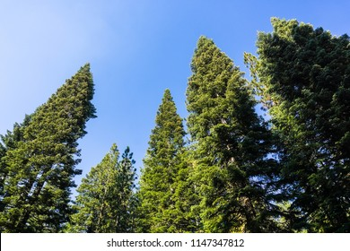 Looking up in a Ponderosa pine trees forest, Lassen Volcanic National Park, Shasta County, Northern California
