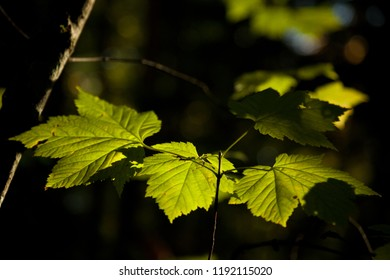 Looking up at a poplar tree in fall with bright backlit yellow leaves