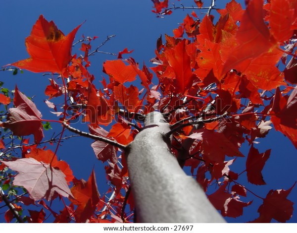 Looking up at a red maple tree with blue sky as the background