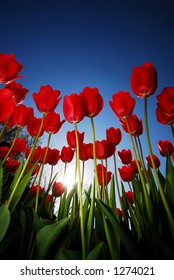 Looking up at Red Tulips, Blue Sky, and the Sun. (room for text)