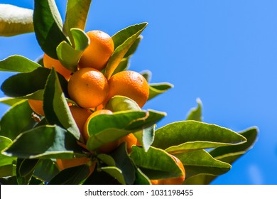 Looking up to ripe Kumquat fruit on a tree branch; blue sky background; San Francisco bay area, California