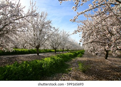 Looking at row of almond trees in an orchard in full bloom.