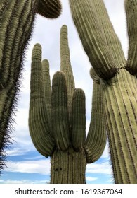 looking up at saguaro cacti