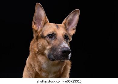 Looking side german shepherd