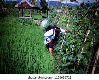 Looking For Something In The Plant Field At Ringdikit Village North Bali Indonesia
