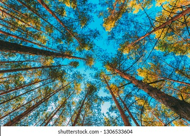 Looking Up In Spring Pine Forest Tree To The Canopy.  Under Blue Sky. Bottom View Wide Angle Background