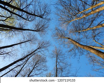 Looking up at spring trees without leaves against blue clear sky, Masuria, Poland