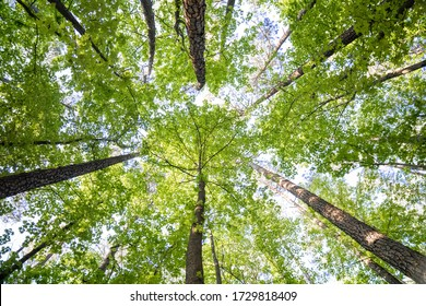 Looking Straight up at Forest Canopy Woodland Trees With Textured Bark and Sun Shining Through in Spring