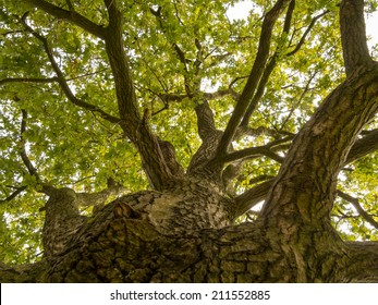 Looking straight up at the sky along the trunk of this big oak tree