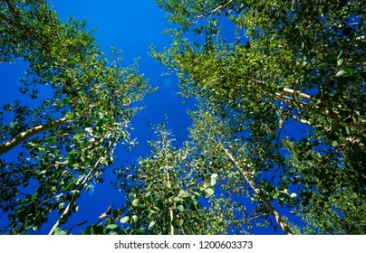 Looking straight up through aspen trees into deep blue clear sky . Nature escape looking up above the tree tops surrounded by lush thick birch and aspen trees
