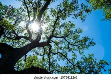Looking up at stretching limbs of Old Live Oak Tree in Austin , TX Central Texas Looking straight up at Spreading Branches and Vine like Pattern with sun burst sunshine direct sun