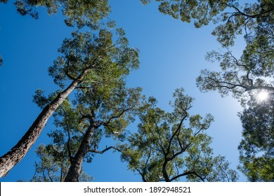 Looking up at the sun protruding through tree tops