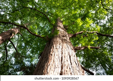 Looking up the tall dawn redwood tree in early summer.